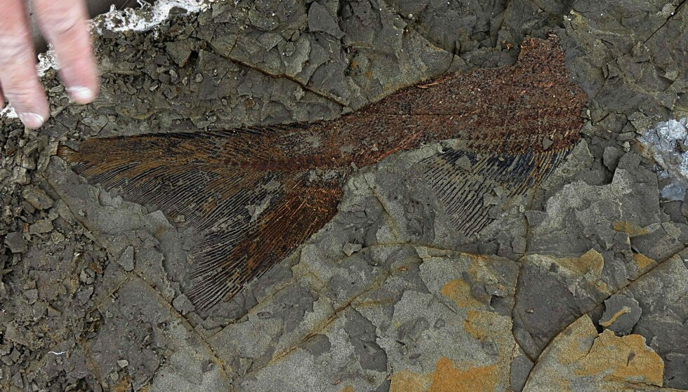 66 MILLIONER: Det mener forskerne er alderen på denne fisken. Foto: Robert DePalma / Kansas University / AFP