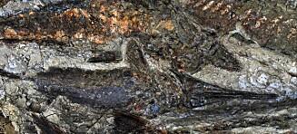 Denne fossilen kan ta oss 65 millioner år tilbake i tid