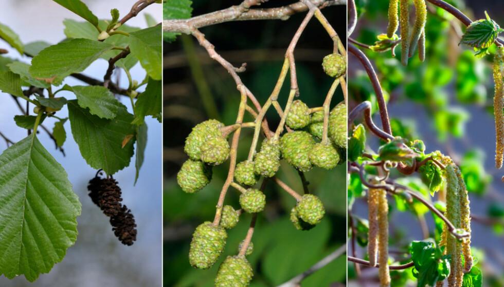 TIDLIG VARSEL: I år startet den daglige pollenvarseltjenesten, rundt én måned tidligere enn vanlig. Foto: Scanpix
