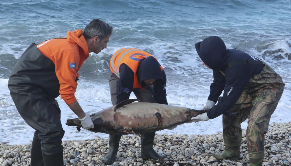 DØD DELFIN: Her bærer medlemmer av den greske miljøorganisasjonen, Archipelagos, en død delfin opp fra stranden på Samos i februar. Foto: AP