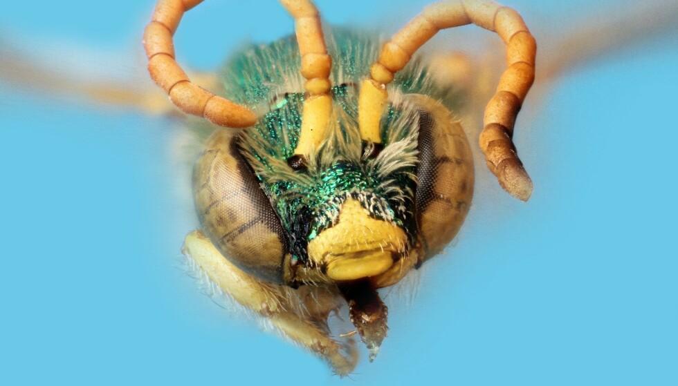 MARKBIE: 24-åringen fra Taiwan hadde ikke bare én, men fire markbier i øyet. Foto: Wiki Christopher Johnson, Wikimedia Commons
