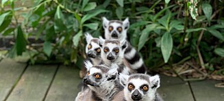 Fire lemurer funnet. Intens leteaksjon