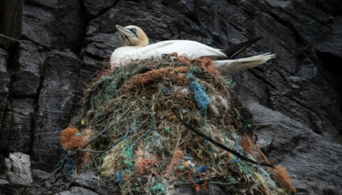 DØDSFELLE: Naturfotograf Brendghagen beskriver reirene som rene dødsfeller. - Fuglene hekter seg fast i garn, tau og søppel, sier han. Foto: Roger Brendhagen