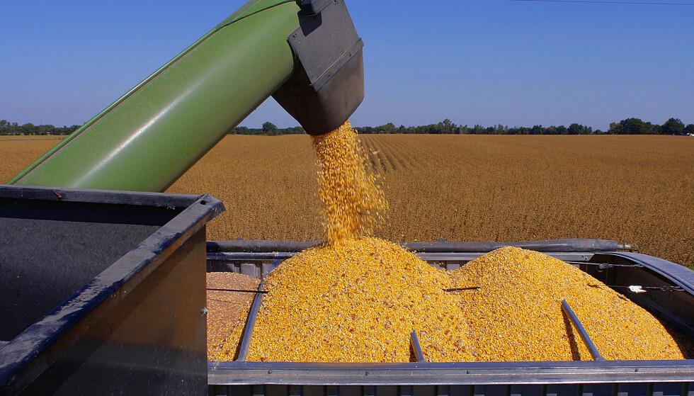 SATT FAST: Bonden lastet korn da han satte foten i maskineriet han jobbet med. Maskinen var fortsatt i gang, og beinet ble sittende fast. ILLUSTRASJONSBILDE: AP Photo/Seth Perlman
