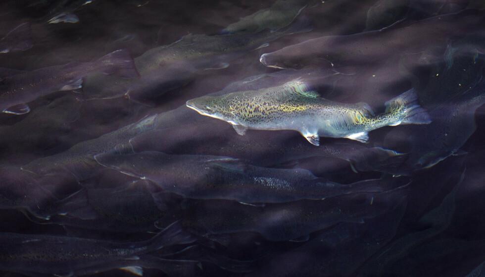 620 MILLIONER: Hittil er 10 000 tonn fisk død nord i Nordland og sør i Troms. Det skal tilsvare rundt 620 millioner kroner i tapte inntekter. Illustrasjonsfoto: Gorm Kallestad / NTB scanpix