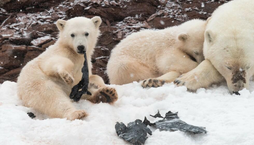 PÅ SVALBARD: Dette synet møtte naturfotograf Olav Thokle da han var på Svalbard i fjor. - Det var en svart plastpose de to ungene lekte med. De dro den fra hverandre, og til slutt ble den helt borte. Den gikk ned i de små magene deres, sier han. Foto: Olav Thokle