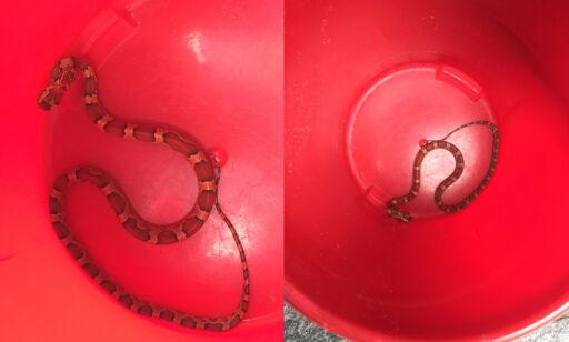 image: Kvinne fant slange på kjøkkenet