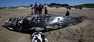 Undersøker mysteriet: 70 hvaler skylt opp på stranda