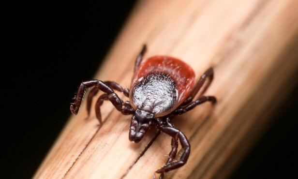 KAN VÆRE FARLIG: Flåtten kan overføre sykdommer som TBE-virus og borrelia. Foto: Shutterstock