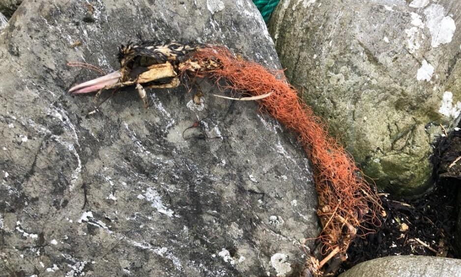 DØDELIG: «Dollyrope», eller «labbetuss», som er navnet det går under i Norge, er plastavfallet du trolig har sett, men kanskje ikke forstått hvor stammer fra. Bildet viser en død hegre, surret inn i tauet. Foto: Beate Amalie Kjerstad
