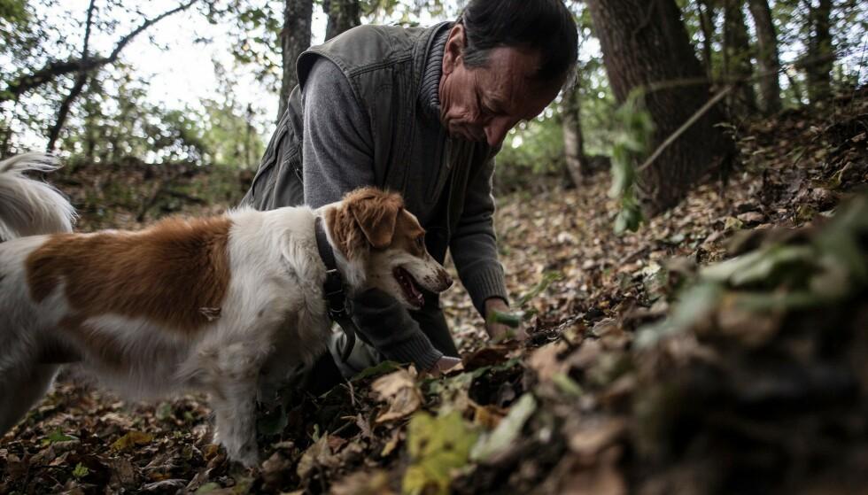 PÅ TRØFFELJAKT: Verduno nær Alba, nordvest i Italia, er et yndet område for trøffeljegere. Foto: Marco Bertorello / AFP