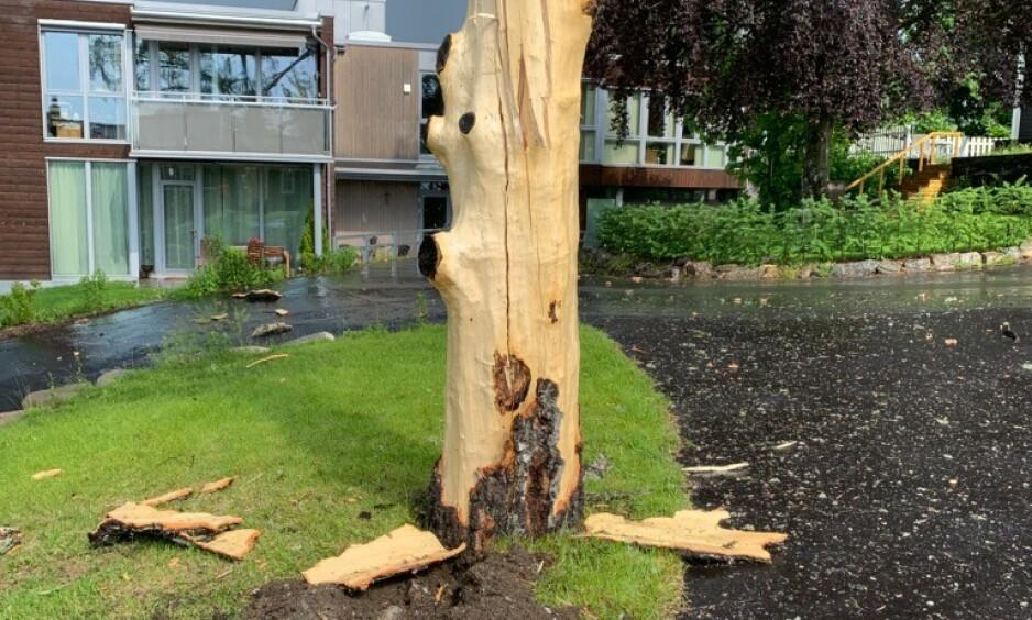 LYN SKRELTE TRE: Et lynnedslag i Asker regelrett skrelte av barken fra dette bjørketreet. Foto: Jørgen Strømquist