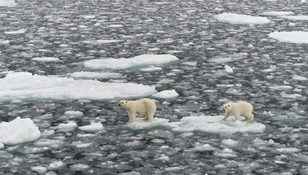 SMELTER: To isbjørner på Spitsbergen på smeltende is. Foto: imageBROKER/REX