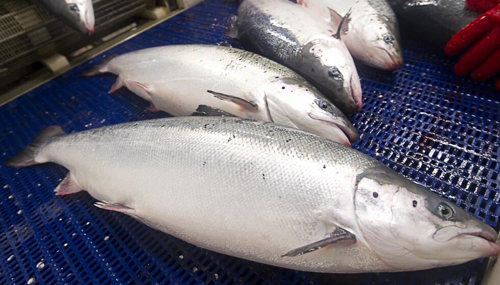 TRAGISK: Det er trist at oppdrettsnæringen lider store økonomiske tap, men det er også tragisk at fisken lider og dør grunnet mangel på surstoff, skriver innsenderen. Her er død laks i et oppdrettsanlegg i Lofoten etter oppblomstringen av Chrysochromulina-algen. Foto: NTB scanpix