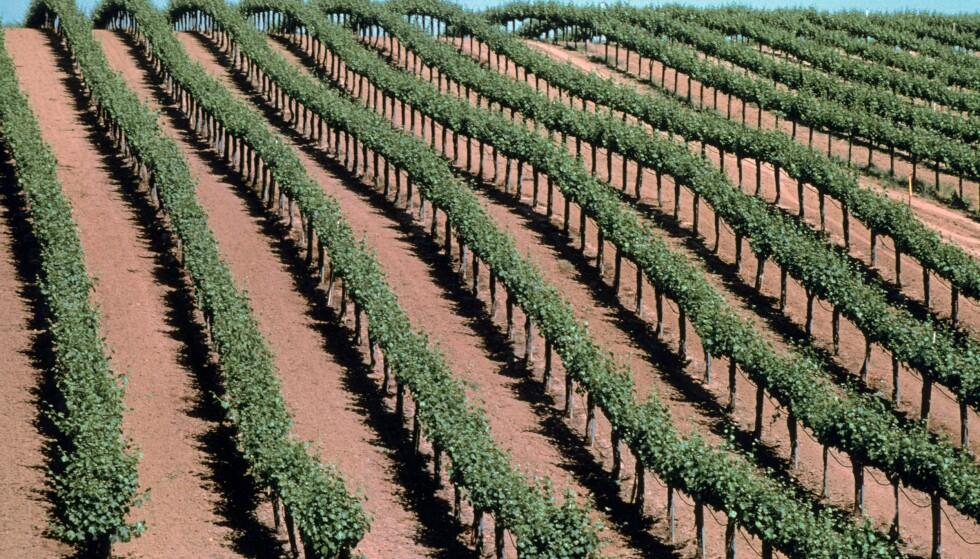 VINRANKER: Californiae bannlyst bruk av klorpyrifos denne våren. Foto: Mark Audrey Gibson/REX