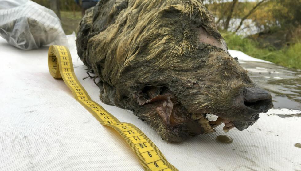 UNIKT: Hodet til ulven er 40 centimeter langt, og er et svært sjeldent funn. Foto: AP/NTB Scanpix