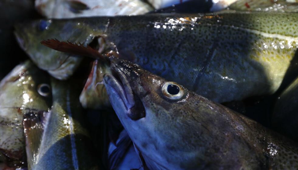 SE TORSKEN: Nesten 10 tonn torsk er forsøkt smuglet ut av Norge på knappe to måneder. Foto: Cornelius Poppe / NTB scanpix