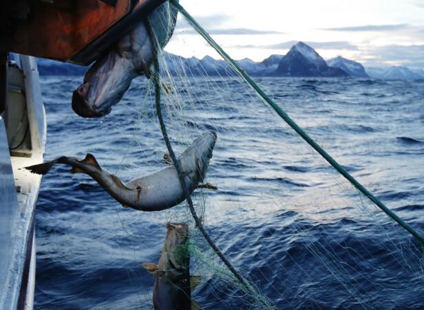 RAMMER TORSK: Det siste året har forskere testet klorpyrifos på torsk. Professor Ketil Hylland forteller at de så tydelige virkninger i nervesystemet til fisken. Her om bord skipper Trond Dalgårds båt som fisker etter skrei på utsiden av Senja i 2015. Foto: Cornelius Poppe / NTB scanpix