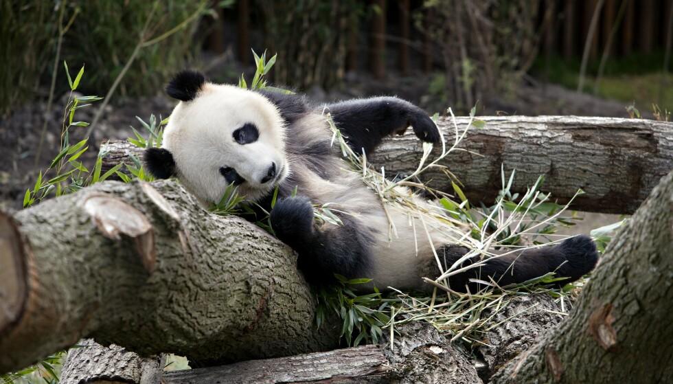 Kinas smarte panda-flørt