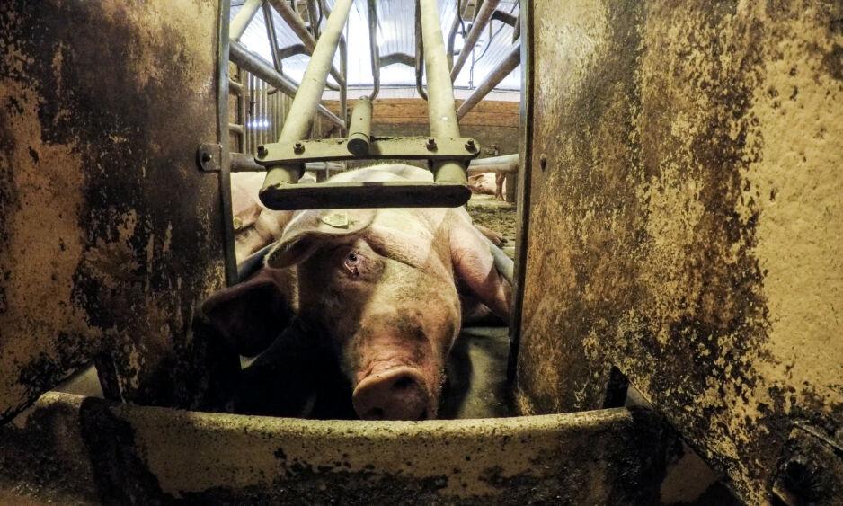 GRISENÆRINGEN: Dokumentaren «Griseindustriens hemmeligheter» eksponerer dårlig behandling av norske griser. Foto: Piraya Film / NRK