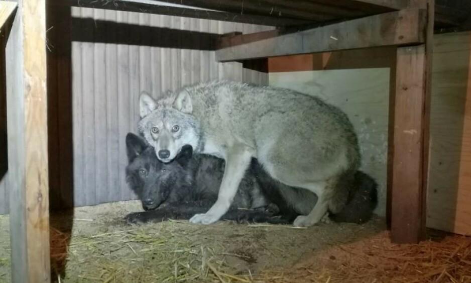 FANGET: Ulvene ble holdt skjult, enkelte av dem uten tilgang til mat og vann. Foto: Politiet