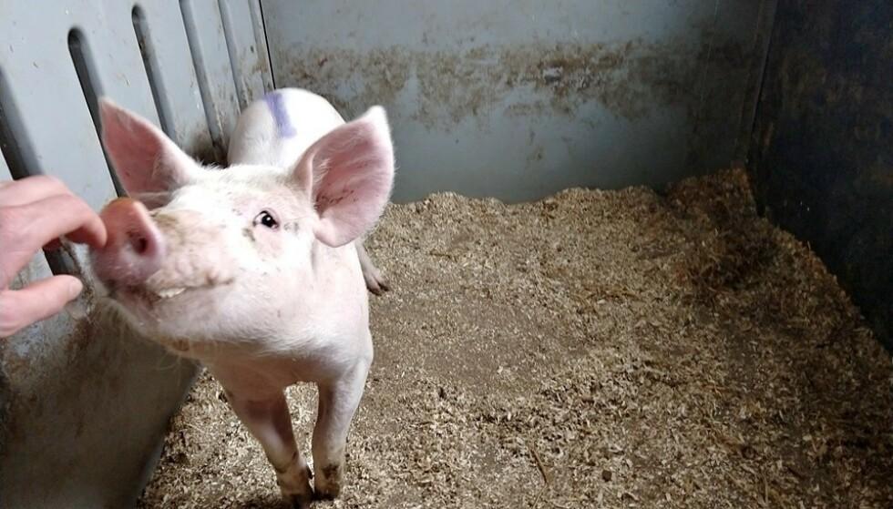 SJUKEBINGE: Illustrasjonsfotoet eg har vald er, for å ikkje rosemale, den sjukaste grisen eg no har i fjoset. Eg har forøvrig 120 grisar i fjoset nett no. Den har, truleg på grunn av eit halesår, fått leddbetennelse i venstre framfot, og er halt. Den er teken ut av bingen, og går no i ein sjukebinge med ekstra plass og ro for seg sjølv. I samråd med veterinær går den på ein antibiotikakur, og eg har trua på at den skal verte heilt frisk og rask att. Slik skal det vere, og slik ER det i dei aller fleste grisefjos, skriver svinebonde Jørund Kvaale Hansen. Foto: Jørund Kvaale Hansen