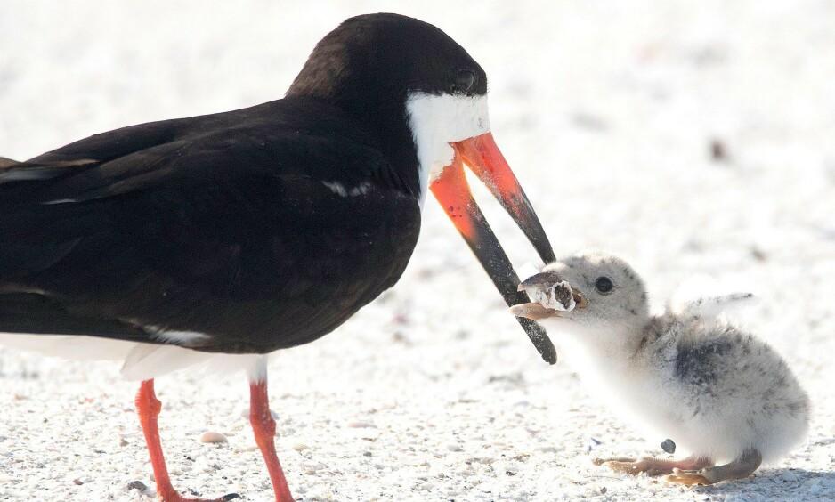FANGET ØYEBLIKKET: Naturfotograf Karen Mason fanget øyeblikket der en sjøfugl mater ungen sin med en sigarettsneip. Foto: Karen Mason / Mega