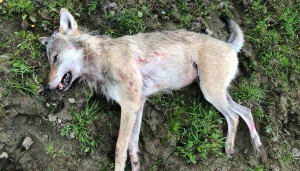 UREDD ULV: Bonden som skøyt ulven sier til Natioen at han først trodde ulven var en bikkje fordi den ikke viste noen tegn til frykt. Foto: Politiet