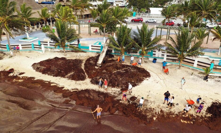 UNNTAKSTILSTAND: Delstaten Quintana Roo i Mexico erklærte unntakstilstand da tonnevis med tang drev opp på stranden i år. Her rydder beboere den 15. mai. Foto: Rodrigo Arangua / AFP / NTB Scanpix