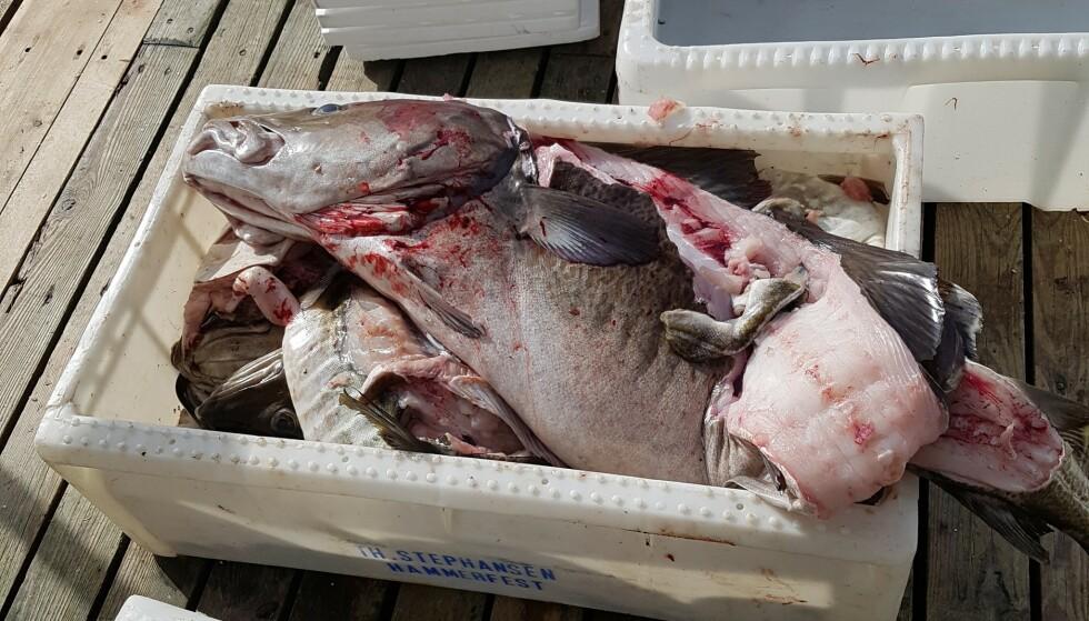 FISKETURISTER: Steinar Furøy forteller om turister som fisker flere tonn fisk, men bare tar ut ryggstykket. Resten hiver de på havet. Foto: Privat.
