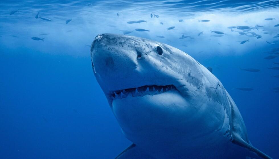 Overfiske og forurensing truer haibestanden i Middelhavet, advarer WWF. Illustrasjonsfoto: Foto: Seatops/imageBROKER/REX/ NTB scanpix