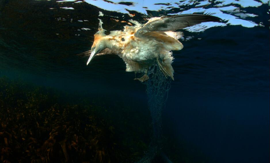 FANGET: Havsule, som siden 1947 har spredt seg som hekkefugl i fuglefjell på fem steder i Norge, fanget i spøkelsesgarn. Foto: Nils Aukan / WWF