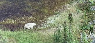Søker etter antatte seriemordere - fant isbjørn