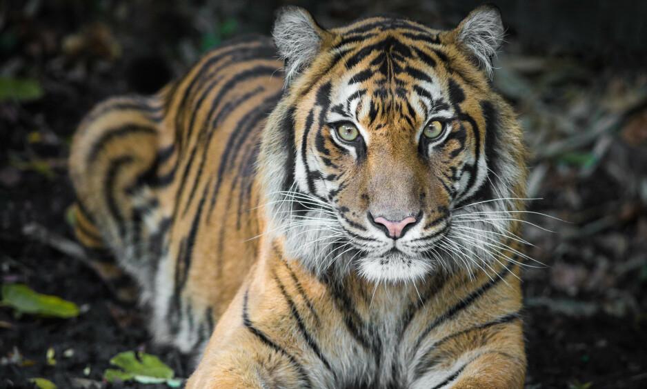 INDISKE TIGRE: I løpet av fire år har Indias tigerbestand økt med 33 prosent. Statsministeren sier økningen er en historisk bragd. Foto: Nichollas Harrison