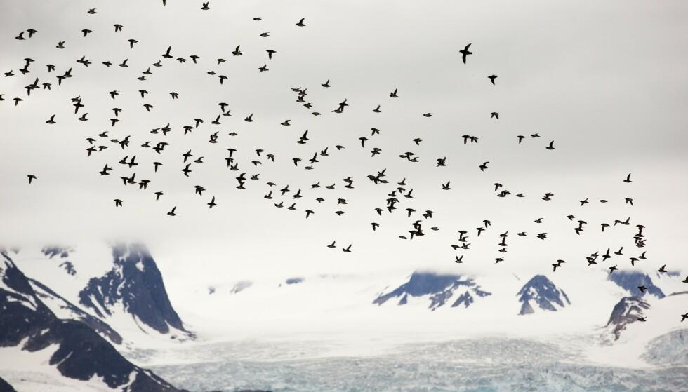 SLÅR ALARM: En fersk studie slår alarm om framtiden til dyr, og spesielt fugler over hele verden, som følge av global oppvarming. Bildet viser alkekonger i lufta utenfor Spitsbergen, på Svalbard - hvor det har blitt registrert uvanlig høye temperaturer de siste åra. Foto: REX / NTB Scanpix