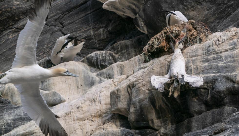 PLAST: En død havsule henger i fiskegarn av plast på fuglefjellet på Runde. Statsminister Erna Solberg så denne fuglen fra båten på en tur rundt øya. Foto: Heiko Junge / NTB scanpix