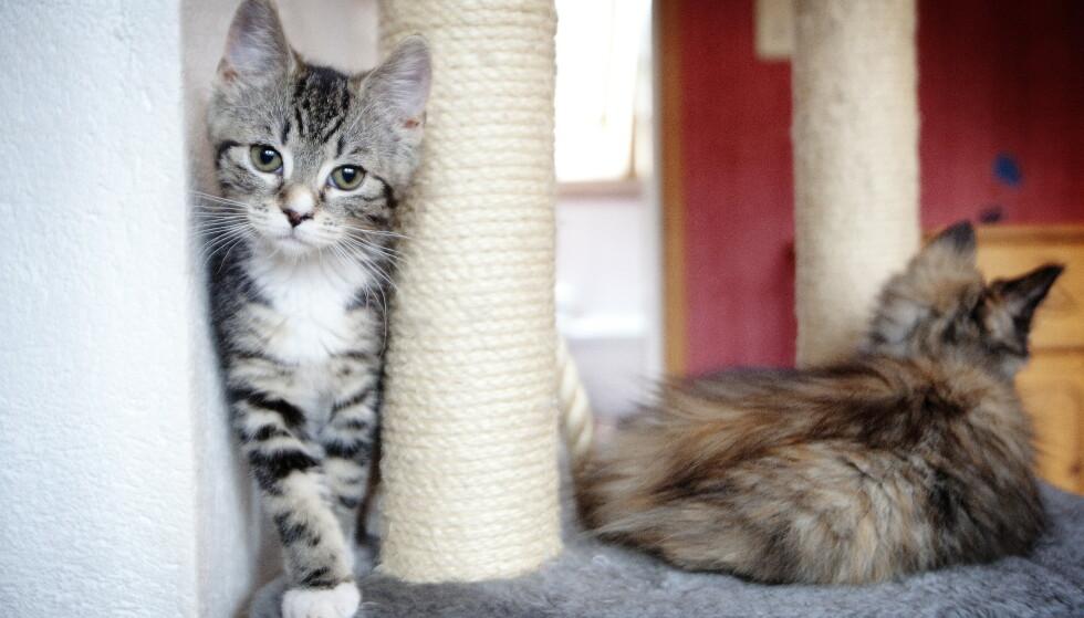 ET GODT KATTELIV: Alle vet at en katt kan gå seg bort. Det er prisen for at pus skal få leve det frie gode kattelivet. Men nettopp derfor – og desto mer viktig – er at katter ID-merkes, skriver innsenderen. Foto: NTB Scanpix