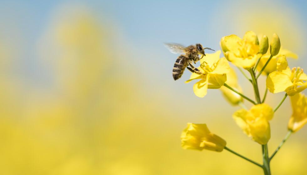 TRENDY: Honningbien er trendy for tida, og nå har Dagens Næringsliv-journalist Sarah Hambro skrevet bok om dennes liv og historie. Foto: NTB SCANPIX / SHUTTERSTOCK