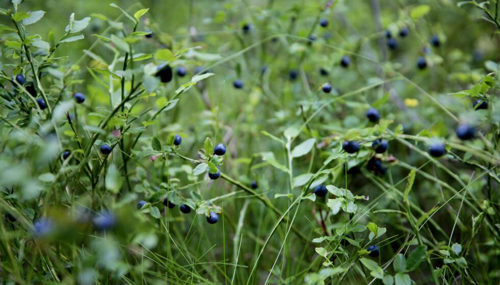 SKRINT: Det er 90 prosent færre blåbær i skog og mark i år, sammenlignet med 2017. Foto: Gorm Kallestad / NTB Scanpix
