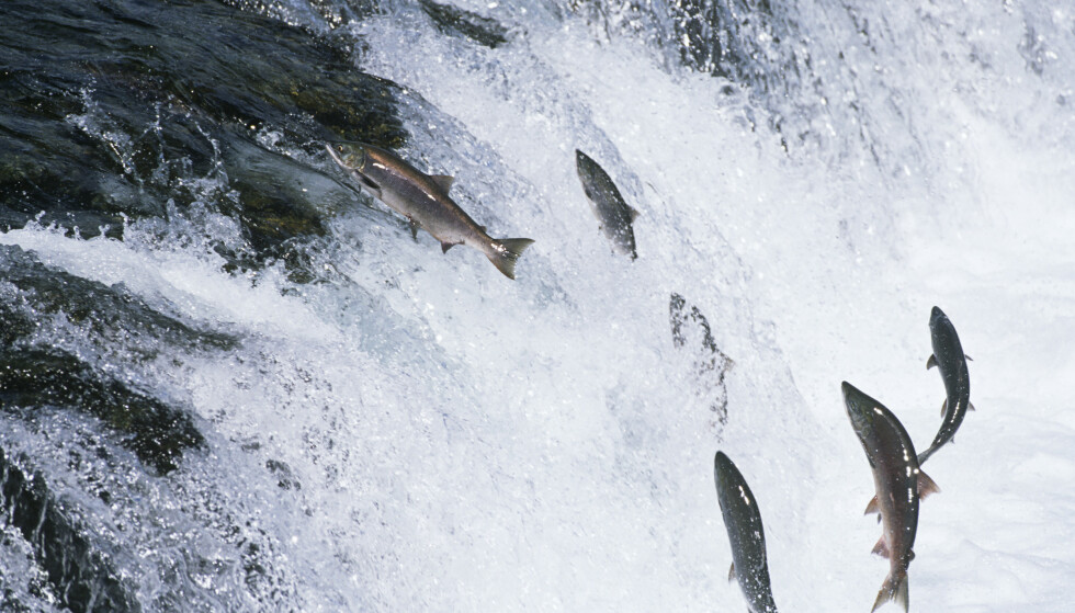 UVENTET TOPP: Varme vann har ført til en massedød av laks i Alaska. Foto: Walter Huber/Mood Board/REX
