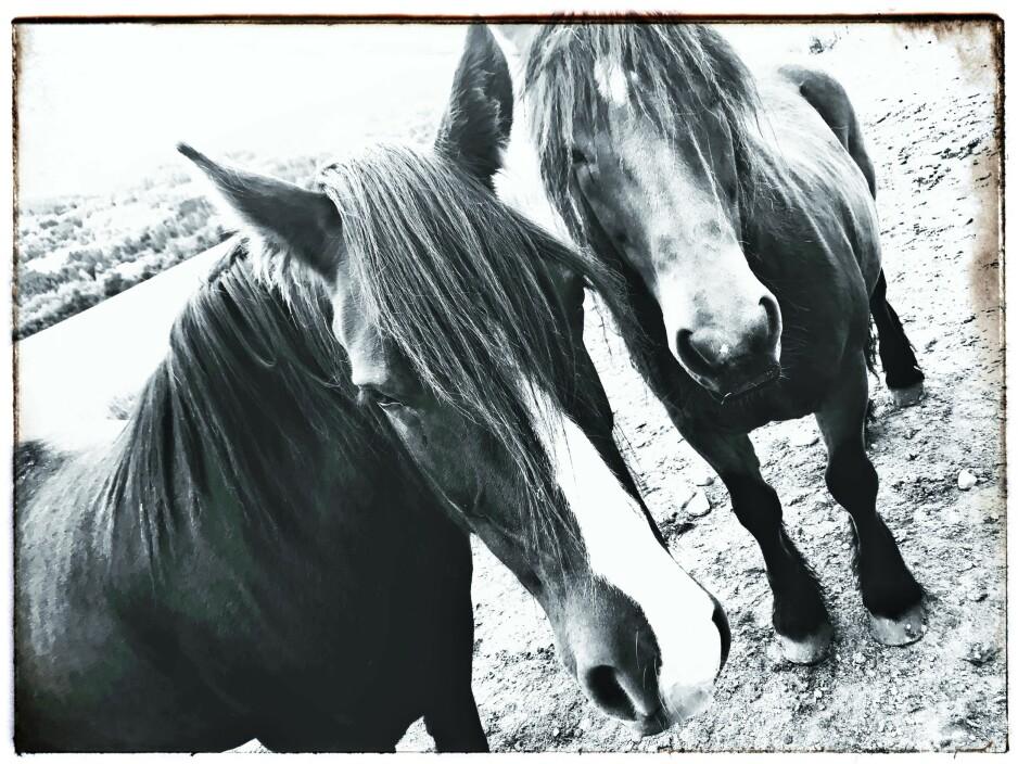 RONJA OG SNERTEN: Å i Meldal. Samme gamle tullingene i elva, men nye hester på gården. derfor blir det et rabiat postkort igjen, det siste. Foto: Tom Stalsberg