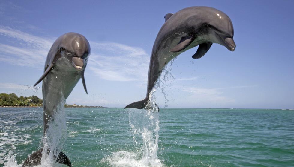 TUMLERE: Nå er det ikke lenger lov å svømme med denne delfinarten i New Zealand. Foto: Jurgen Christine Sohns/ Flpa/ Imagebroker/ Rex / NTB Scanpix.