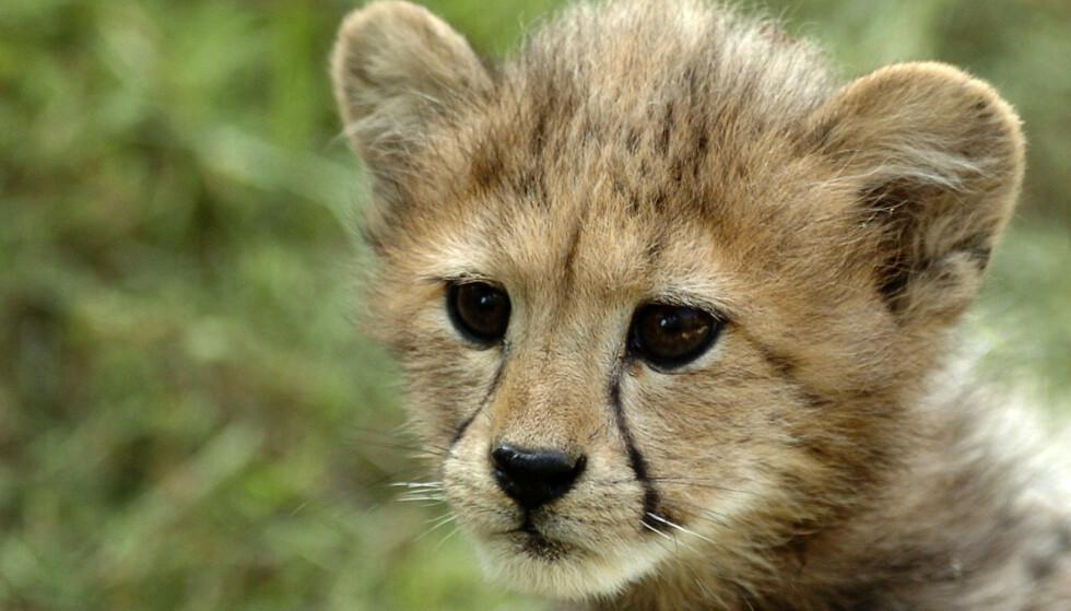 KAN FORSVINNE: Fordi det blir smuglet så mange geparder over til land som Saudi-Arabia og Kuwait risikerer vi å miste kattedyret i om få år. Foto: NTB Scanpix