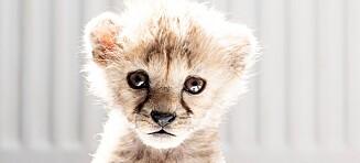 De styrtrike har geparder som kjæledyr