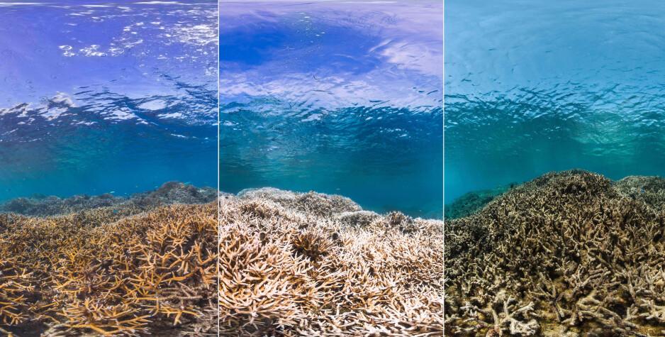 KAN DØ UT: Great Barrier Reef, verdens største korallrev, strekker seg over et område som er 2300 kilometer langt. Revet, som er oppført på FNs verdensarvliste, er i likhet med en lang rekke korallrev på den sørlige halvkule sterkt truet. Bildene viser ødeleggelsene etter en blekingshendelse i Amerikansk Samoa i 2015. Foto: The Ocean Agency