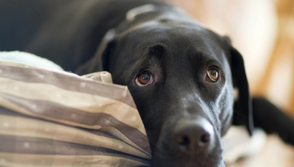 DØDELIG: Mattilsynet advarer mot en dødelig og trolig smittsom hundesykdom som har spredd seg til flere deler av landet. Illustrasjonsfoto: REX / NTB Scanpix