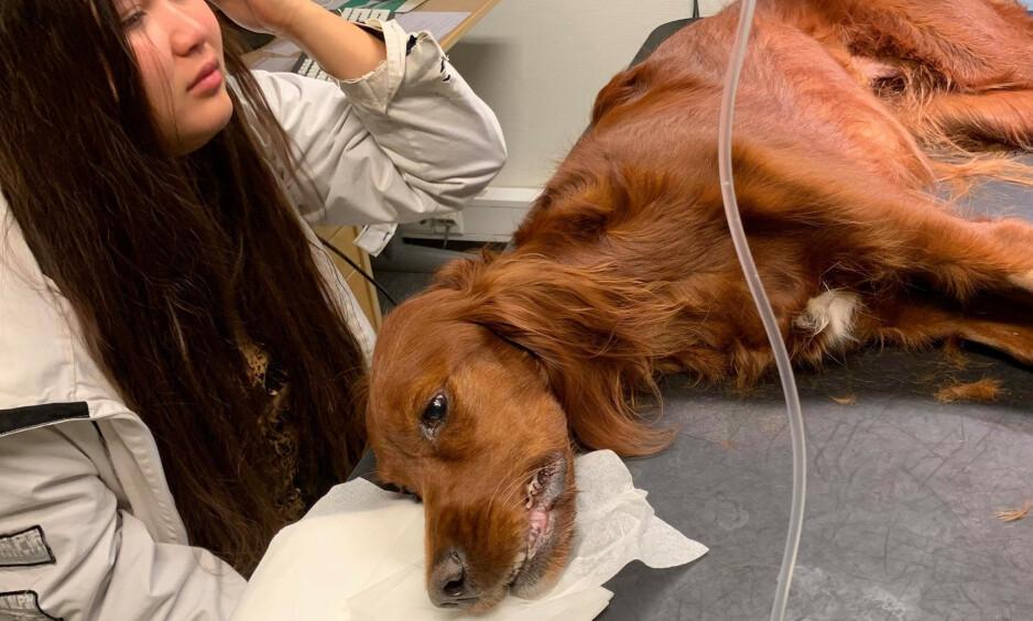 AKUTT SYK: Hunden Bianca ble akutt syk, og døde hos veterinæren fredag i forrige uke. Foto: Privat