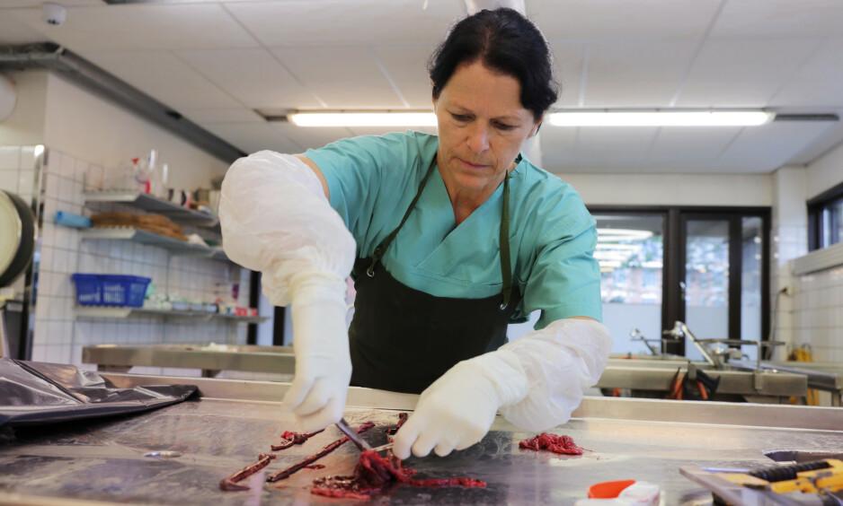 TAR PRØVER: Helene Wisløff, forsker og patolog ved Veterinærinstituttet på jobb søndag. Har tar hun prøver av blodet som ligger i tarmen på de obduserte hundene, som skal sendes til analyse. Foto: Ørn E. Borgen / NTB scanpix