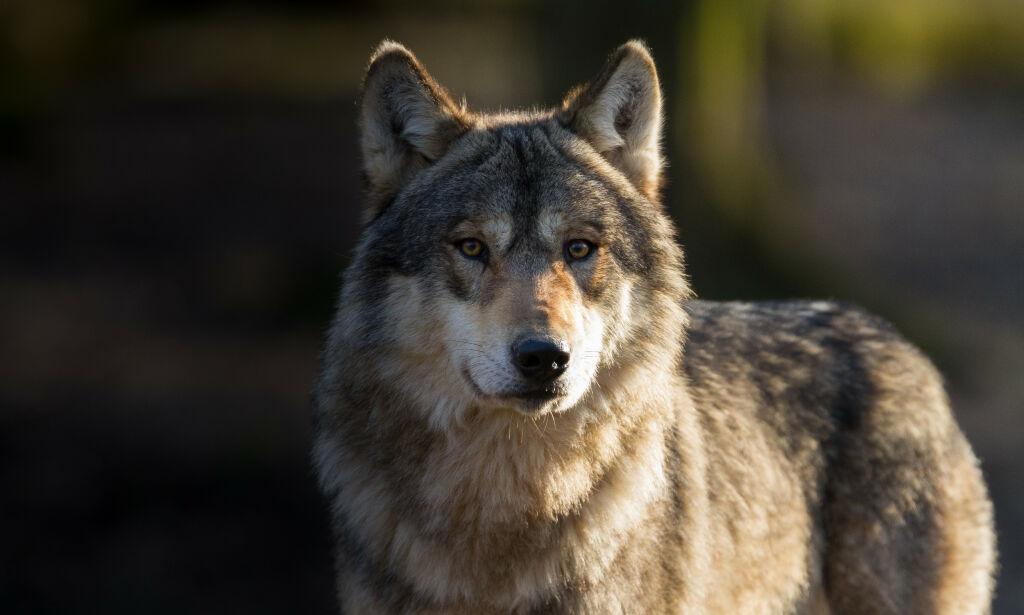 image: Elgjeger dømt til fengsel for å ha skutt ulv