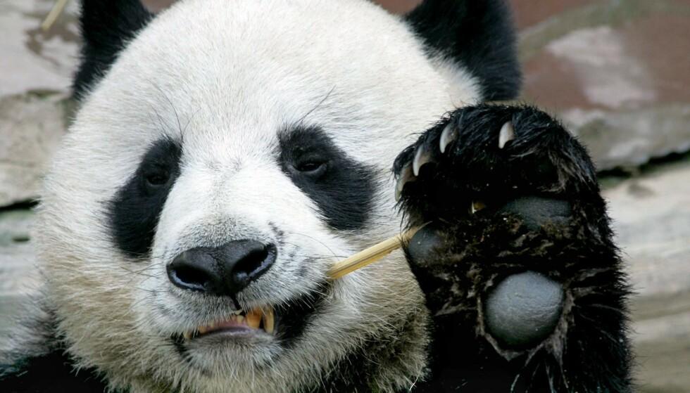 DØD: Den folkekjære pandaen Chuang Chuang døde plutselig og uventet mandag. Foto: Pornchai Kittiwongsakul / AFP / NTB Scanpix